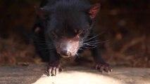 What Does a Tasmanian Devil Sound Like?