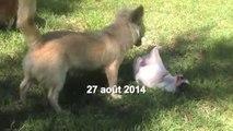 Chihuahua femelles chiots à reserver pour septembre 2014