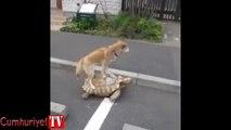 Kaplumbağa ile seyahat eden köpek