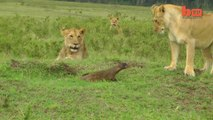 Lion Vs Mangouste... Elle tient tête à 4 lionnes!
