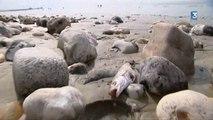 Des centaines de poissons morts sur la plage du Havre