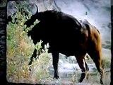 Bufalo Vs Crocodilos Vs Leao, inteligencia pura, reino animal