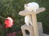 Adorables chatons SACRES de BIRMANIE âgés de 5 mois JULIUS et JENNA de la NEF CELESTE.