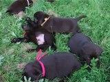 bébés labrador chocolat - élevage du domaine de la sauvagine-normandie-calvados