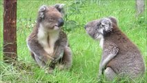 Funny Koalas Fighting - Koala Bears Fighting
