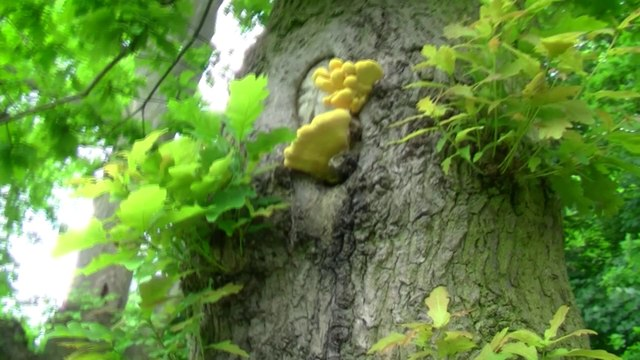 Fungi on some trees. Also a knobbly, gnarly, lumpy trees