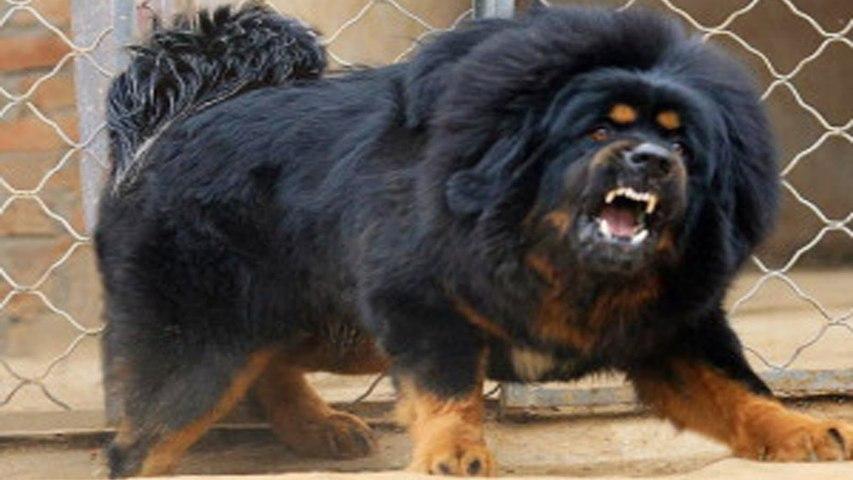 Dünya'nın En Güçlü 10 Köpeği