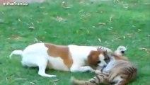 Des mignons bébés tigres!