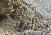 Des images rares de léopards des neiges en Chine