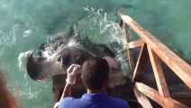 This Guy Is Feeding Some Fish But Then A Stingray Suddenly Jumps Onto The Ramp