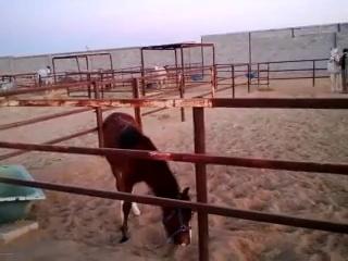 Riding horses (arabian riding)stallion and foal