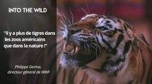 """L'actu en 30 secondes : """"Plus de tigres dans les zoos que dans la nature"""""""