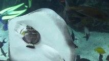 Une raie piège un poisson contre la vitre de l'aquarium pour le manger!