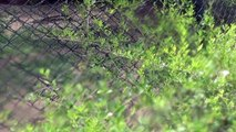 Nehru Zoological Park - Hyderabad - part 7(hynas, tiger,lion)