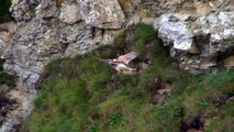 Kestrel Hovering and Hunting in Cornwall