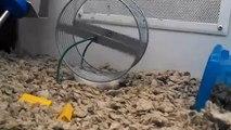 Un hamster fait de la roue sur le dos