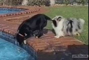 Deux chiens font équipe pour récuperer leur balle dans la piscine