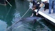 Un dauphin caressé par des passants dans le port de Brest