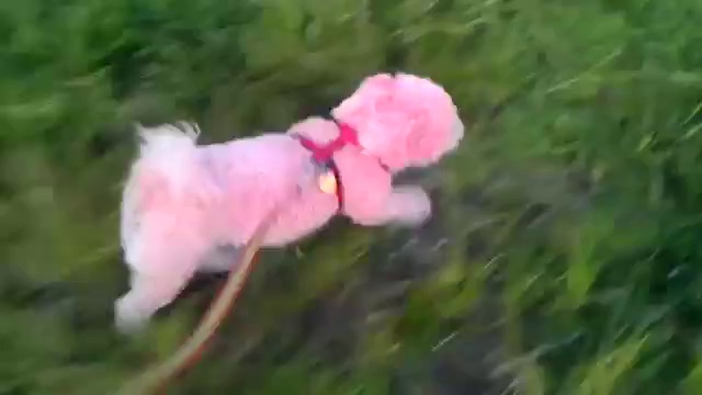 Molly is a Pink Bichon Frise Puppy Dog. Cute pink dog!