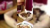 Ces chiens ne sont pas discrets quand ils envient le repas de leurs maîtres