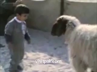 Sheep vs Child