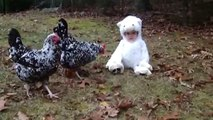 [+18 ~ Sexy Funny Girl]Adorable Baby Dressed as Lamb Confuses Chickens
