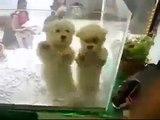 2 Sevimli Dans Yavru Komik Şakalar ve Komik Hayvanlar Yeni Klipler, Komik Videolar Mayıs 2014