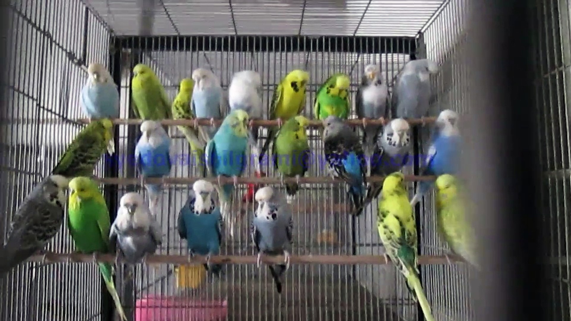 Exhibition Budgies of Syed Ovais Bilgrami
