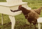 Musical Chicken Composes a Symphony