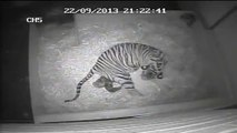 Naissance d'un bébé tigre à Londres