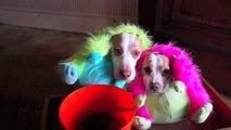 Des chiens heureux de fêter halloween