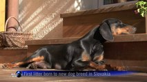 First litter born to new dog breed in Slovakia