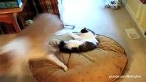 Quand les chats piquent les dodos des chiens