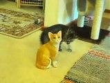 Un chaton devient fou face à un chat qui reste de marbre