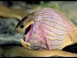 a snake eating his egg v amazing..........