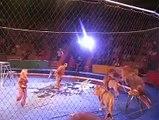 Des lions se rebellent dans un cirque et ne font pas semblant
