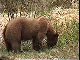 Bella Coola Natural History: Grizzly Bear, Golden-crowned Sparrow, Brown Bear , Angelwing Butterfly, Silk Moth