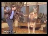 Kangourou frappe la dame et meme l'homme