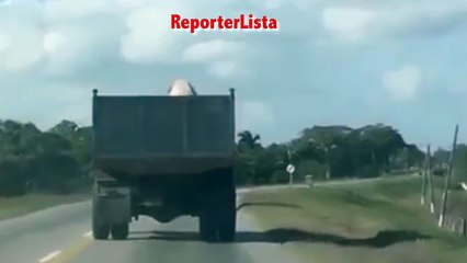 On the road of the slaughterhouse, piglet finds freedom by jumping down from the truck