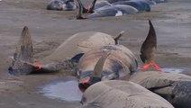 Charnier de baleines en Nouvelle-Zélande
