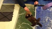 Une petite loutre orpheline apprend à nager à Chicago
