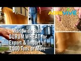 Buy Bulk Durum Wheat, Durum Wheat Exporting, Durum Wheat Exporters, Durum Wheat Exporter, Durum Wheat Exports, Durum Wheat Export