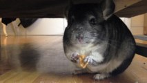 Five Chinchillas Eating - video dailymotion