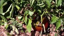 Pascal Poot  Conservatoire de la tomate Lodeve