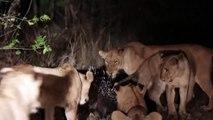 One porcupine vs thirteen lions – who wins?