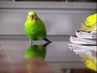 Muhabbet kuşunun akıl almaz macerası!