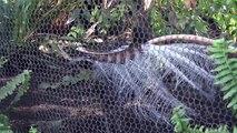 L'oiseau ménure superbe imite des bruits de chantier