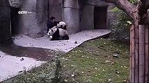 Ce soigneur a du mal à faire son travail avec ces adorables pandas !