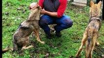 Denuncian el trato a los lobos capturados en Belmonte, Asturias