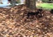 Portuguese Water Dogs Launch Leaf Pile Battle